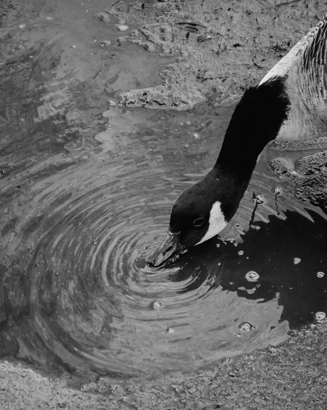 canada goose drinking water from a puddle