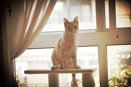 Jerry, gatito rubio guapo muy dulce y bueno, esterilizado, nacido en Abril´15 en adopción. Valencia. ADOPTADO. 23575971391_4ed1e41072