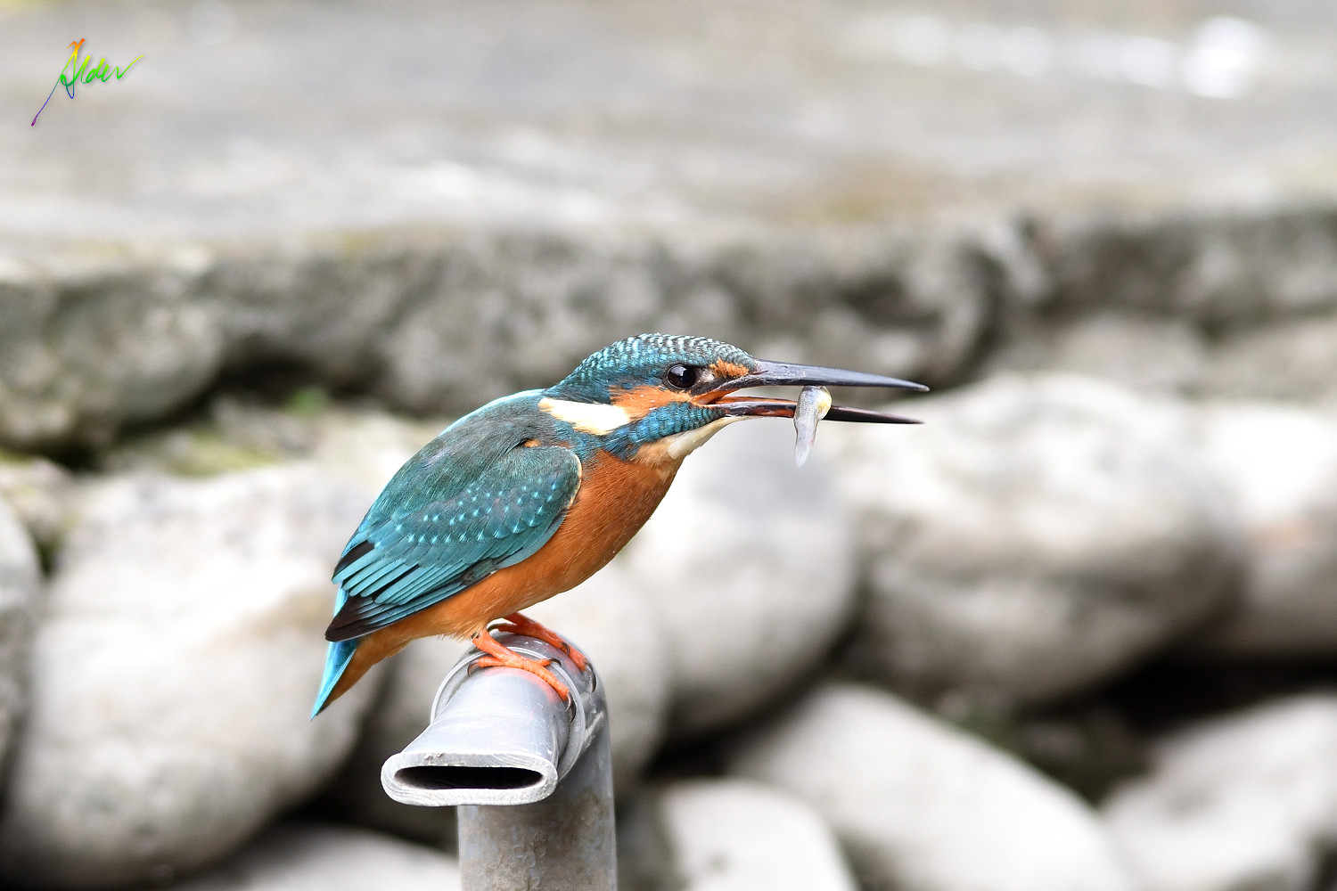 Common_Kingfisher_1710