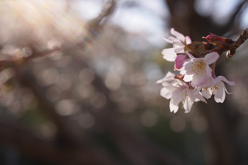 一月の十月桜