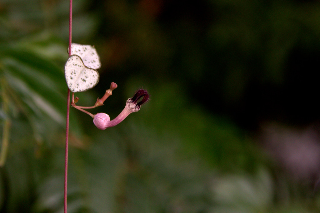 ceropegia woodii o string of hearts