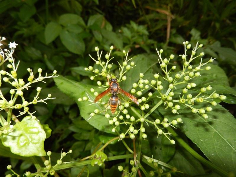 常見訪花的黃緣前喙蜾蠃(Anterhynchium flavomarginatum formosicola)。攝影:陸聲山。