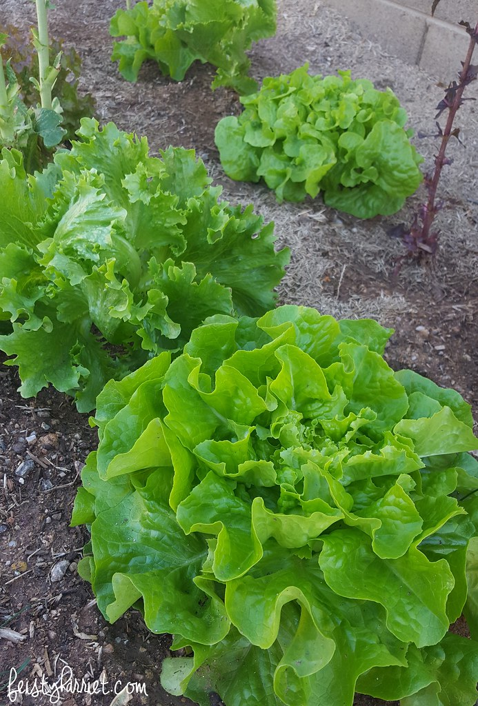 Arizona Backyard Gardening_fall planting_lettuce 1_feistyharriet_Jan 2017