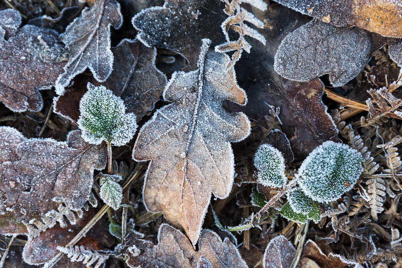 Frosted leaves in the sun