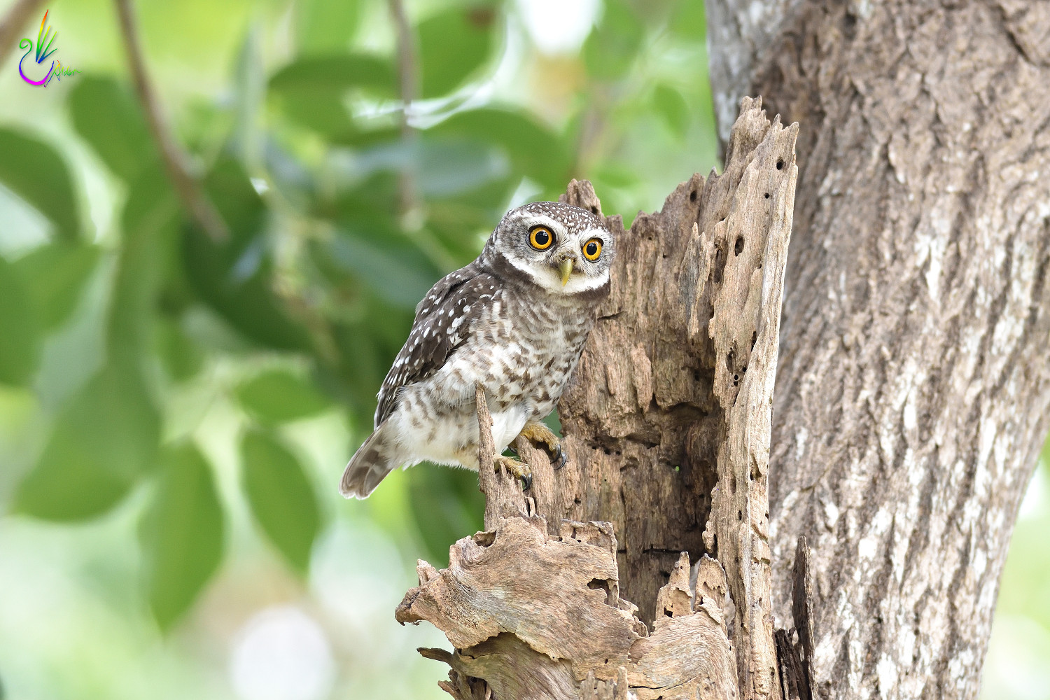 Spotted_Owlet_6883