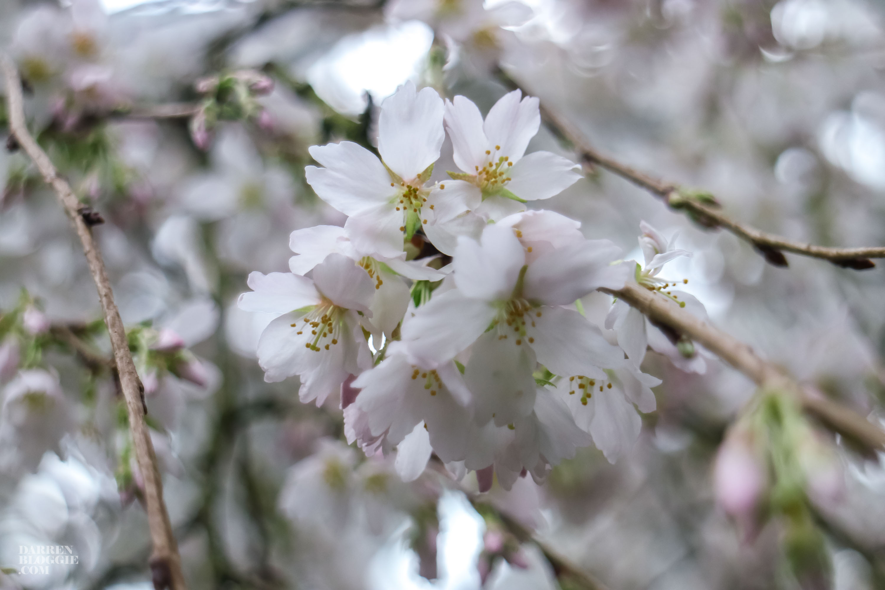 blossom-bliss-cherry-blossom-at-gardens-by-the-bay-darrenbloggie-2