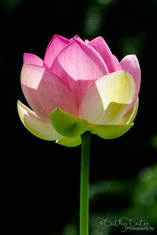 Lotus Flower Standing Tall