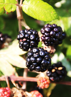 Blackberries along Exeter Canal | by John Englart (Takver)