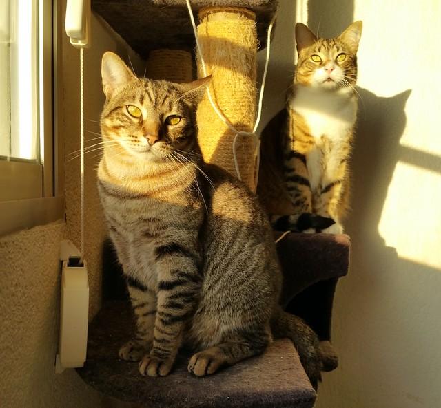 Cotton y Cobby, gatos pardo y blanquipardo inseparables, nacidos en Febrero´15, necesitan adopción Conjunta. Valencia. 32260601484_668b8ec38e_z