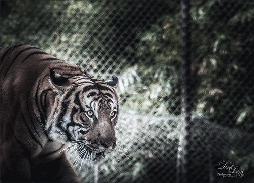 Image of a Sumatran Tiger at the Jacksonville Zoo