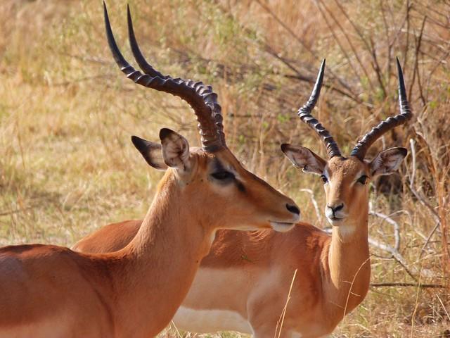 Impalas en Moremi (Botswana)
