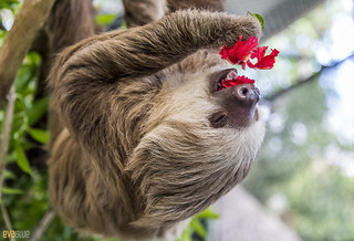 Hoffmann's two-toed sloth Gamboa Wildlife Rescue pandemonio 2017 - 31 | by Eva Blue