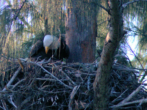 Bald Eagle female tending nest 20170206