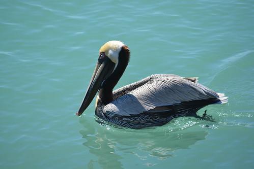 White headed pelican