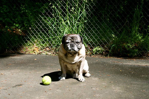 Pug With Tennis Ball | by zoomar