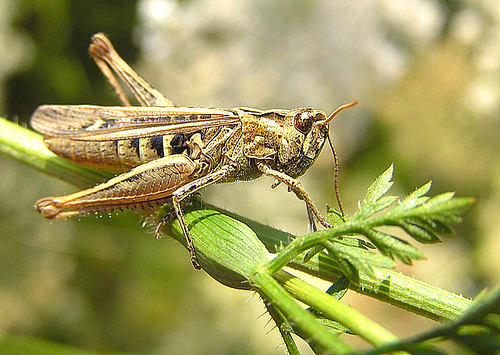 Grasshopper with a heart of corn | by haikulinde