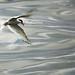 Gaivota Pescando [Tern Fishing]
