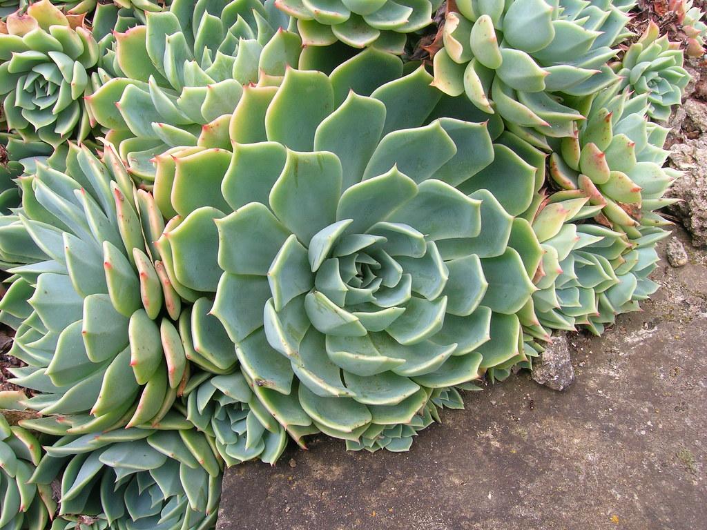 Echeveria crassulaceae echeveria crassulaceae maybe - Piante grasse con fiori ...