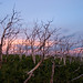 Burned Trees at Sunset