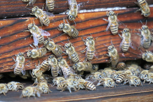 暑い中がんばるミツバチ 2015/8