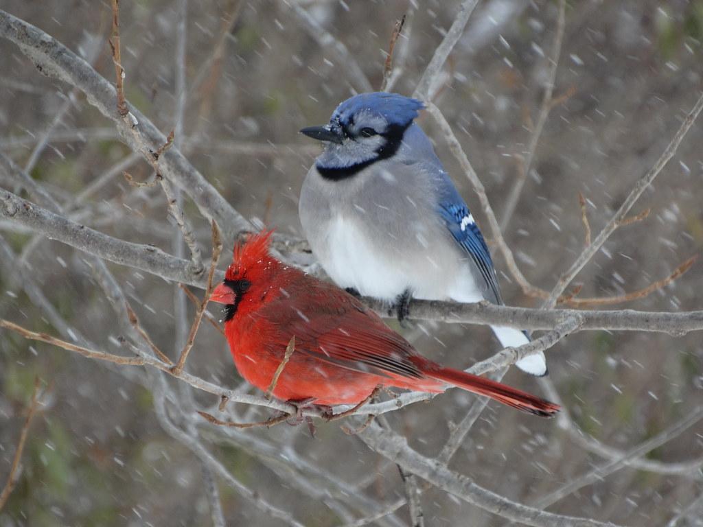 Blue Jay And Cardinal In Snow Storm A Blue Jay Cyanocitt Flickr