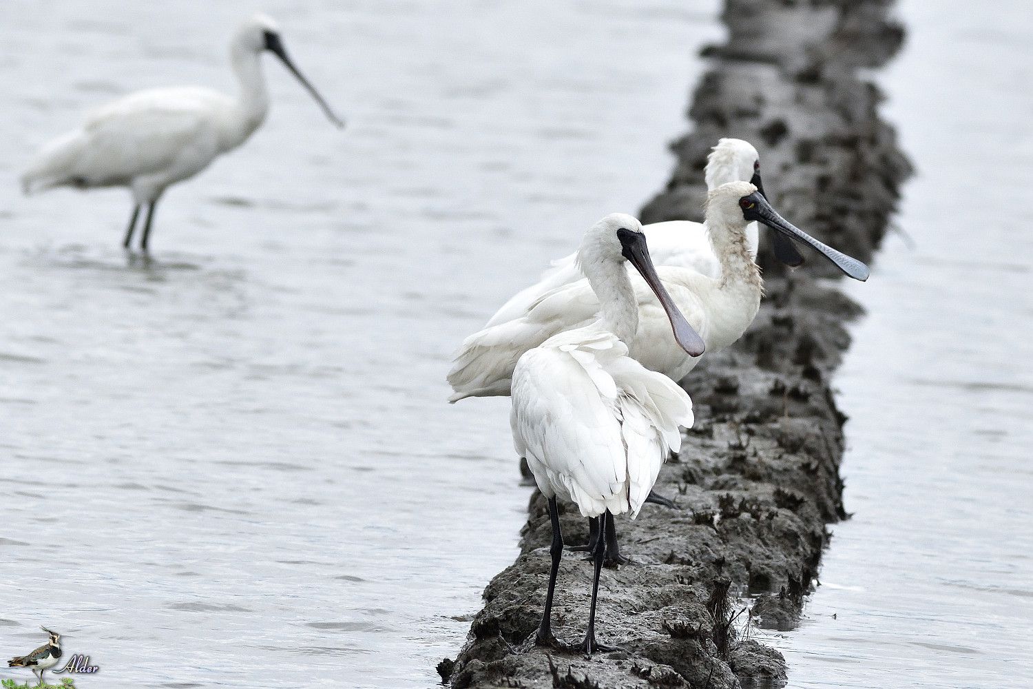 Black-faced_Spoonbill_5197