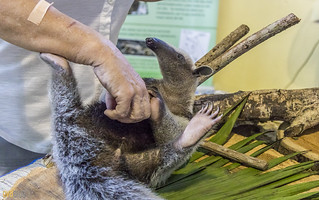 Anteater Gamboa Wildlife Rescue pandemonio 2017 - 07 | by Eva Blue