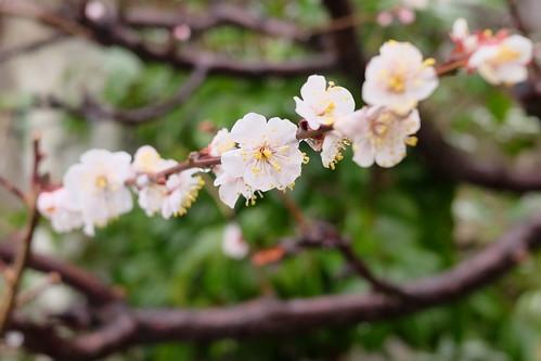 ume Japanese apricot 03