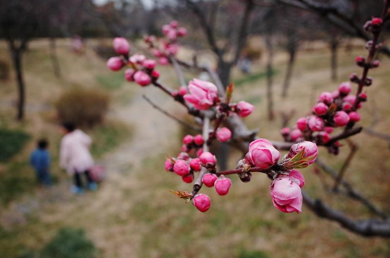 桃の蕾ゆるむ