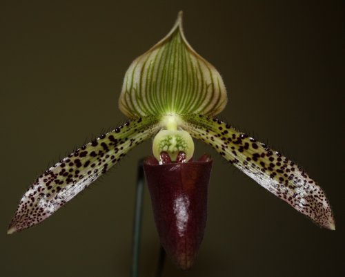 paph_bloom
