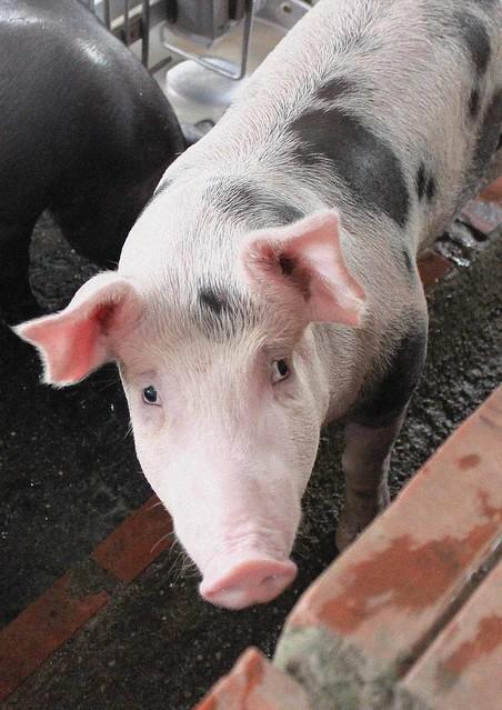 Healthy pig