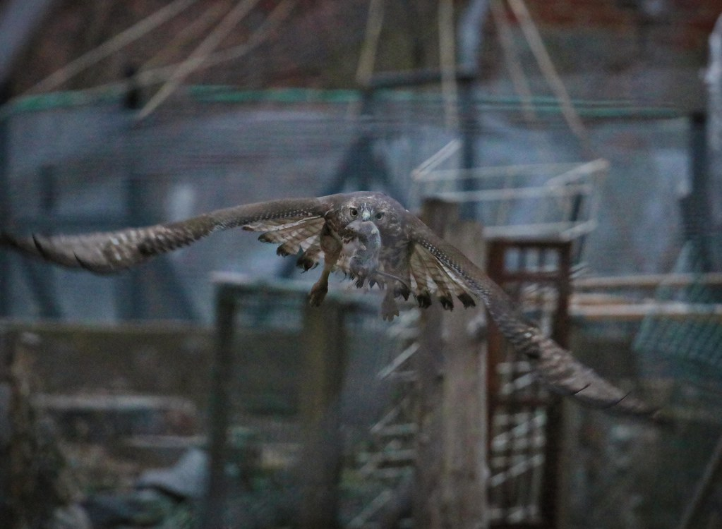 Red-tail catches mouse after sunset