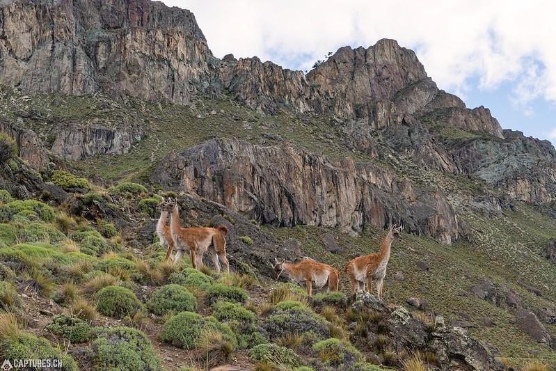 Guanaco - Parque Patagonia