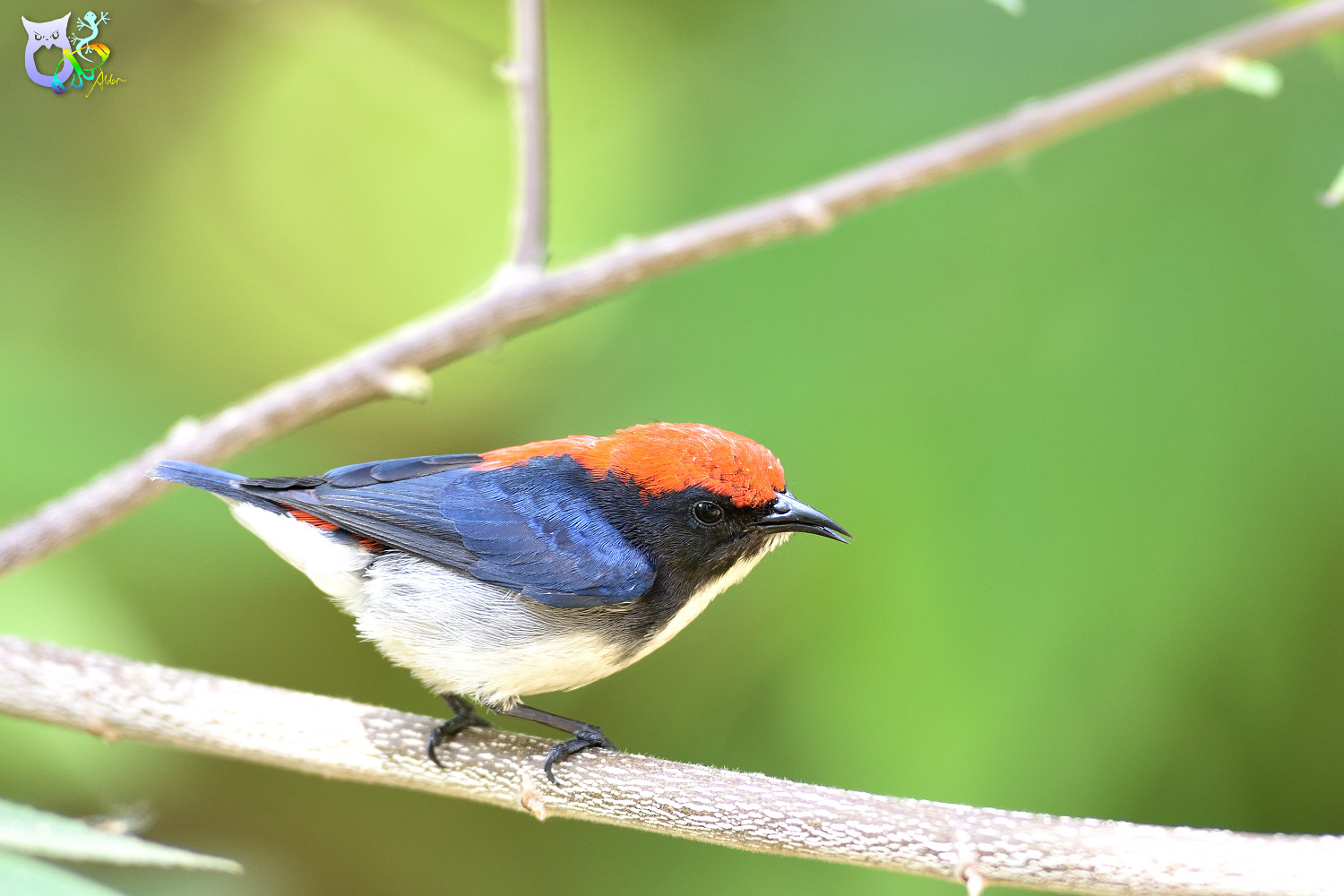 Scarlet-backed_Flowerpecker_2419