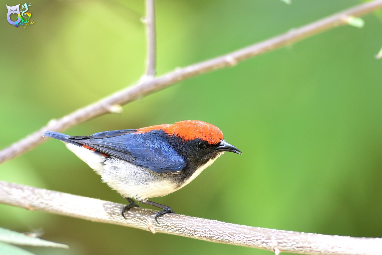 Scarlet-backed_Flowerpecker_2419