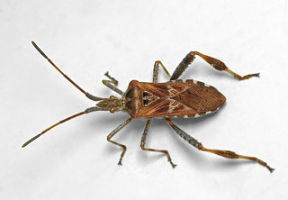 Western Conifer Seed Bug | by Martin Cooper Ipswich
