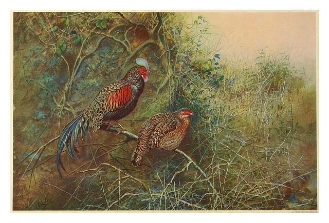 005-A monograph of the pheasants-1918-tomo 2