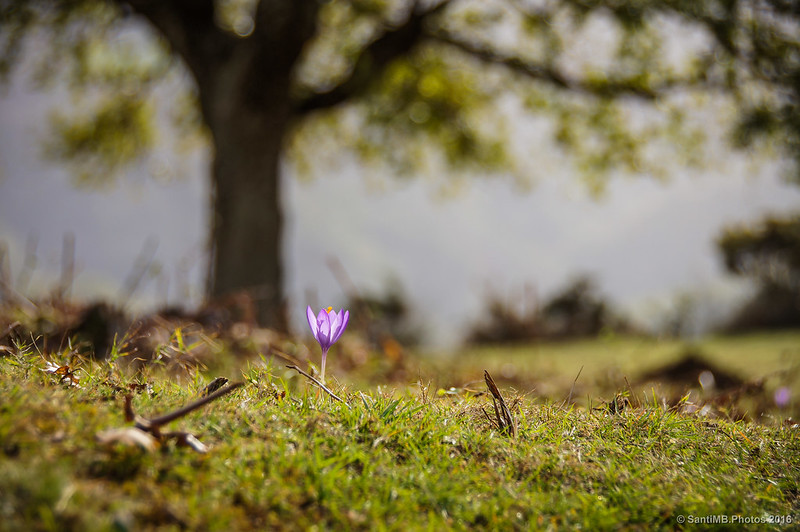 Una flor de Crocus de camino al monte Azkar