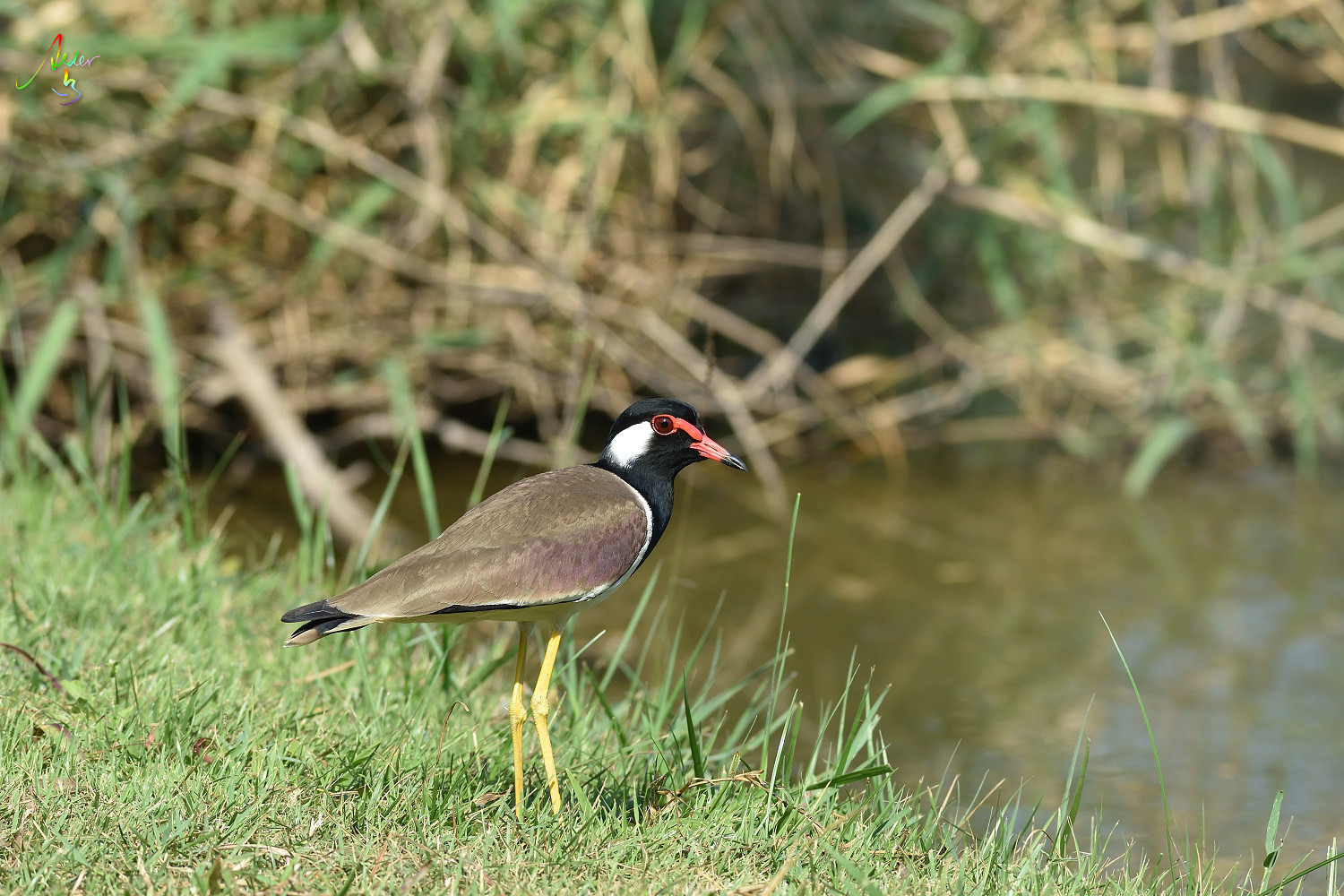 Red-wattled_Lapwing_8862