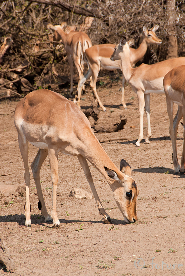 Impala, Aepyceros, melampus, Kruger, National, Park, South, Africa, Kaido Rummel