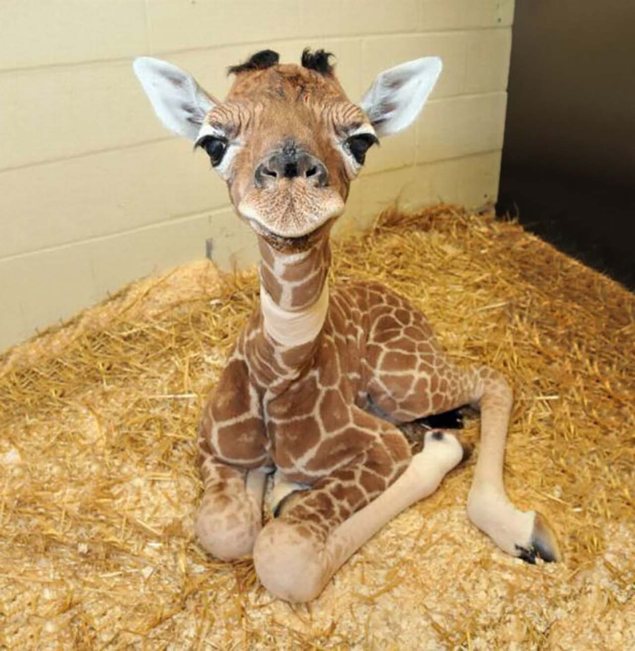27 Adorable & Tiny Animals That Are Too Cute To Handle #6: Giraffe