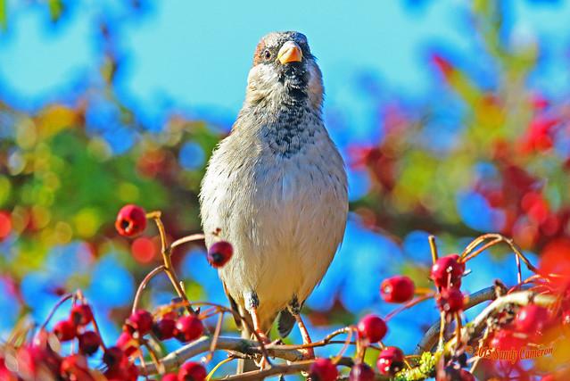 House Sparrow 15-0930-9504