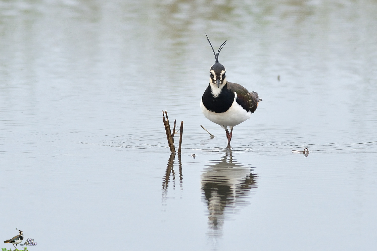 Northern_Lapwing_4698