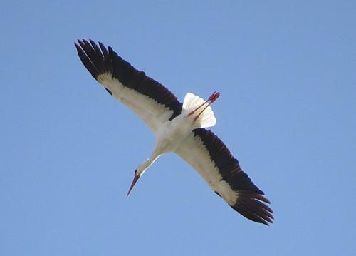 White Stork Ciconia ciconia El Mattoral, Gran Canaria December 2016