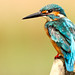Just a kingfisher!