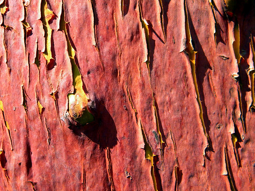 Arbutus bark patterns in orange and dark red (Vancouver Island, BC, Canada)