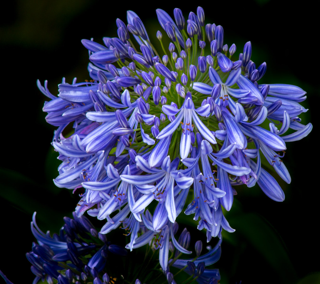 Agapanthus lily of the nile agapanthus in all its glory flickr agapanthus lily of the nile by suzzan nz izmirmasajfo