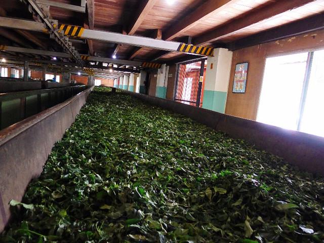 161-tea-plantation