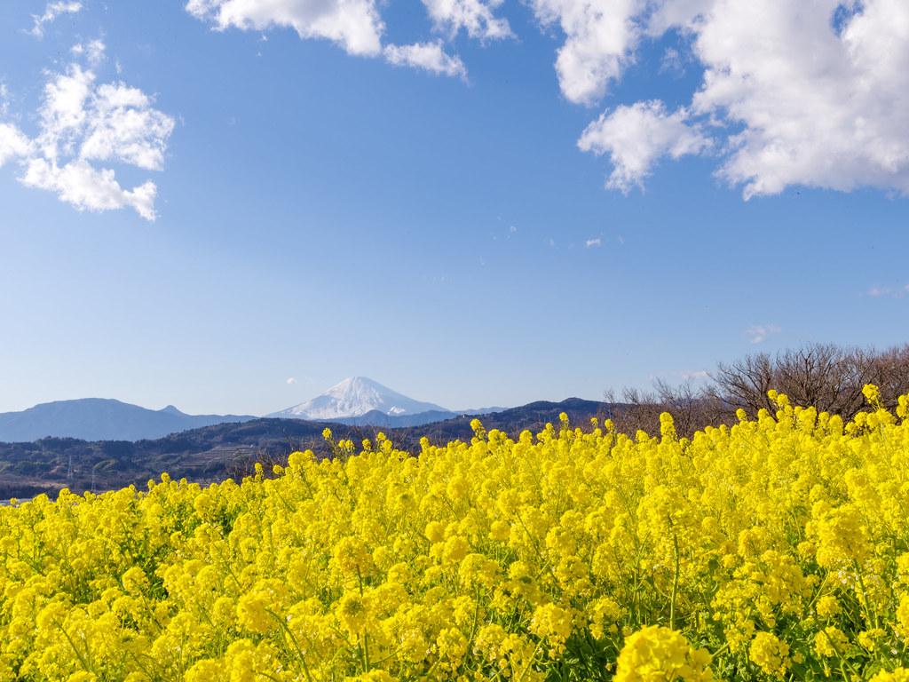 菜の花と富士