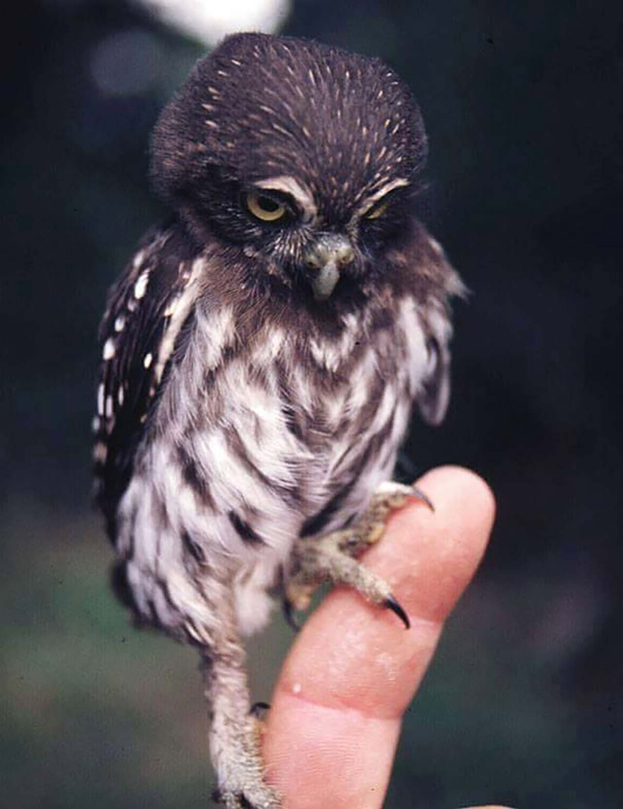 27 Adorable & Tiny Animals That Are Too Cute To Handle #4: Owl